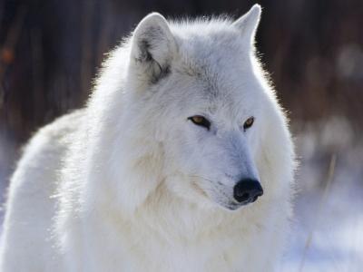 Arctic_Wolf_-_Canada-400